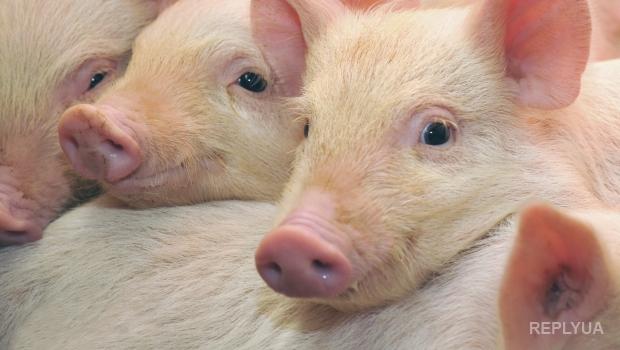 В Испании начала свою работу пятизвездочная свиная ферма