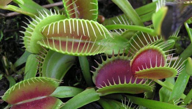Ученые обнаружили интеллект у растения-хищника