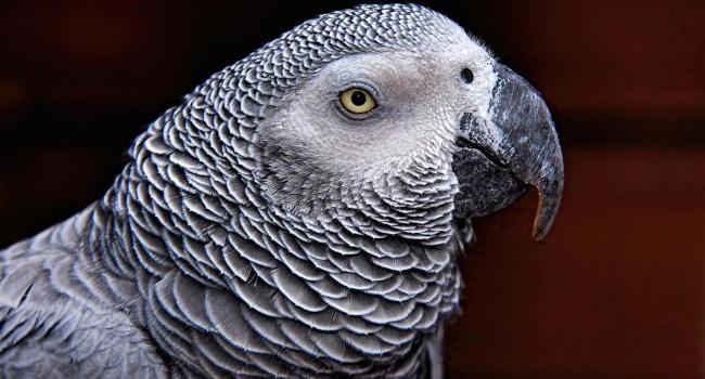 В США попугай может быть признан свидетелем по делу об убийстве