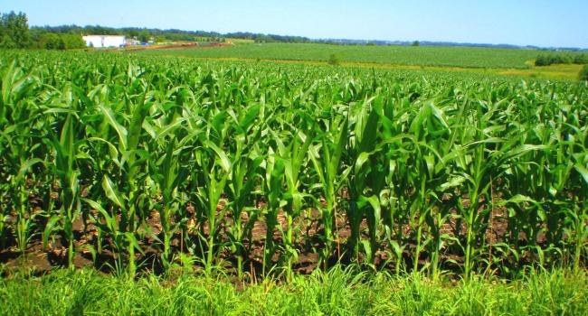 Китай пожаловался на качество украинской кукурузы