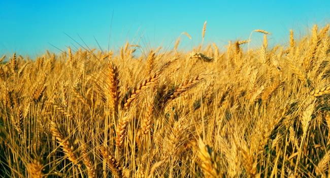 Украинские аграрии собрали практически 38 млн. тонн зерновых
