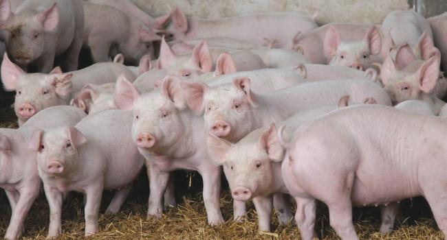 ВЛенинском районе Крыма объявили карантин поафриканской чуме свиней