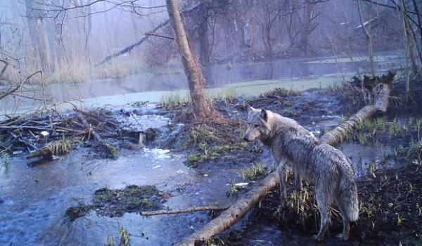 Ученые: увиденное в лесах под Чернобылем не поддается никакому объяснению, - фото