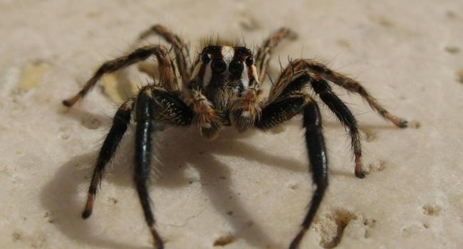Медсотрудники  спасли ребёнка, которого укусил самый ядовитый вмире паук