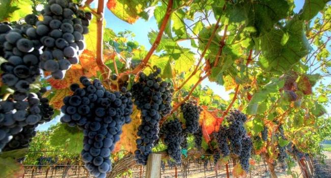 Руководство РФувеличит поддержку виноградарей Крыма в1,5 раза