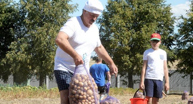 Труд облагораживает: Лукашенко собрал картошку на своем участке