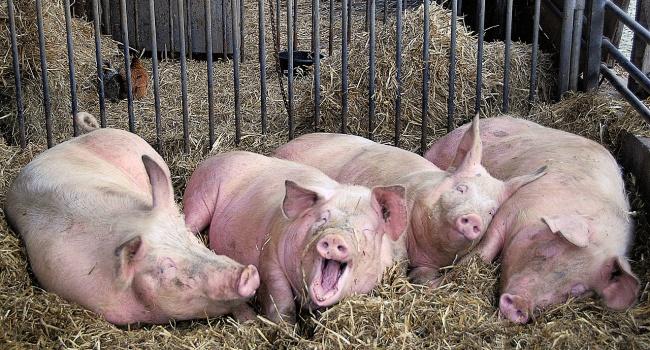 ВОмской области фиксируют новые вспышки африканской чумы свиней