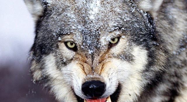 В одном из сел под Черниговом волчица напала на людей