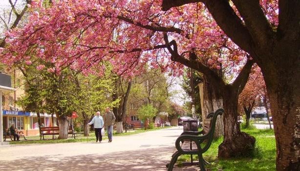 «Вот так цветет сакура в Ужгороде», - свежие фото