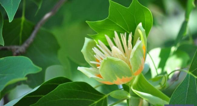 В Ужгороде зацвели тюльпаны на деревьях