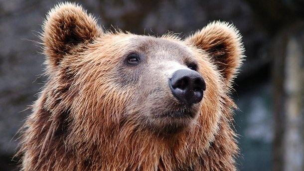 В России хотят признать медведей «стратегическим ресурсом»