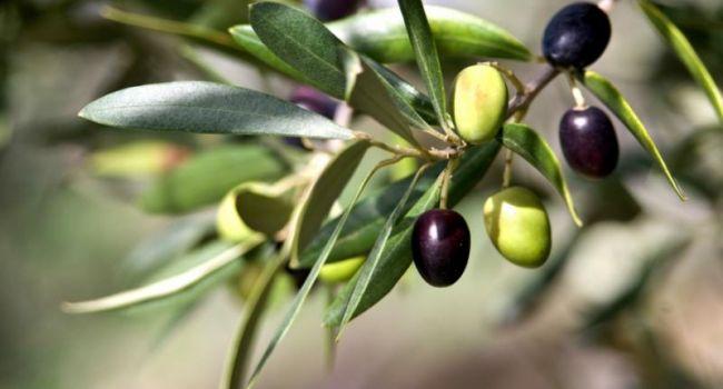 Глобальное потепление: в Италии могут полностью исчезнуть оливки