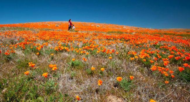 Власти Калифорнии запретили туристам посещать маковые поля