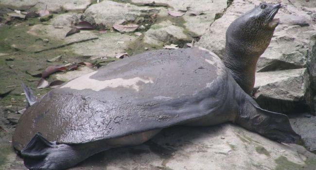 В Китае умерла последняя в мире самка гигантской черепахи