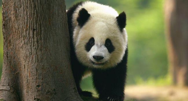 В Китае впервые была обнаружена панда-альбинос