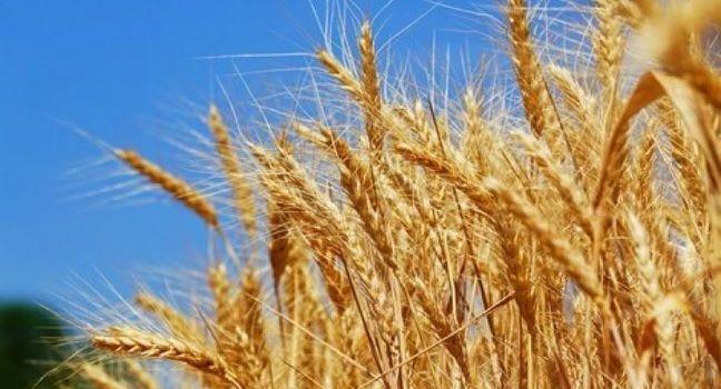 Мягкие сорта пшеницы: покупка и продажа качественного зерна