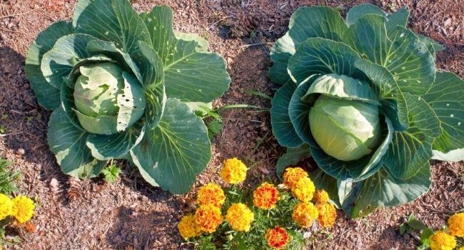 Почему капусту полезно выращивать по соседству с бархатцами?