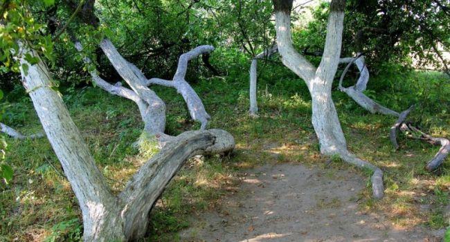 Названо одно из самых старых деревьев в Украине
