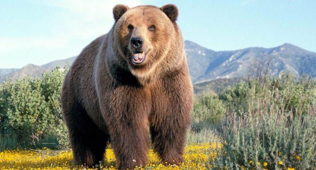 Атака медведей в России: на Камчатке застрелили 60 животных