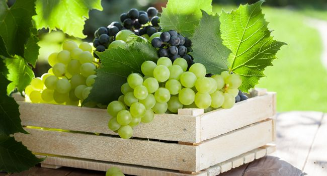 Виноград – лекарство от многих заболеваний