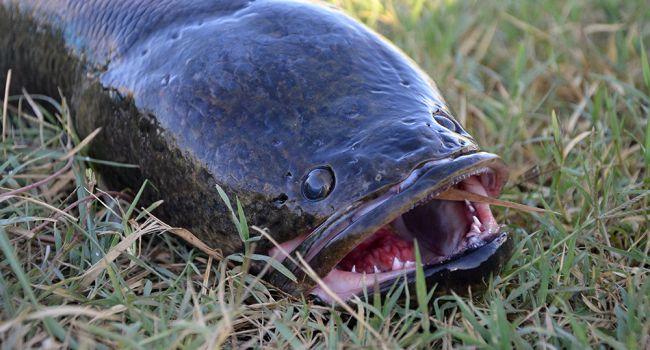 Мощные челюсти и огромные зубы: Жители штата Джорджия шокированы появлением жуткой рыбы