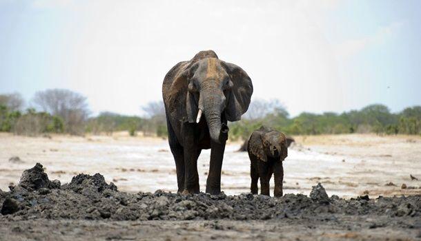 Сильнейшая засуха и голод: более 50 слонов погибли в Зимбабве