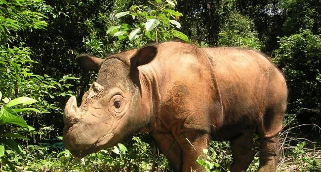 В Малайзии скончался последний суматранский носорог
