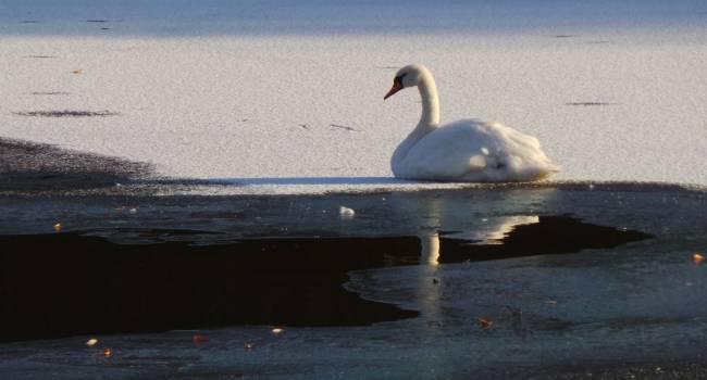 Примерзли ко льду: В Запорожской области удалось спасти стаю лебедей