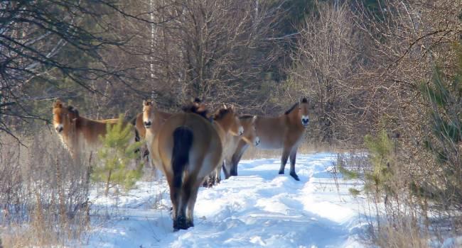 Невероятной красоты: В сети появились фотографии животных из Чернобыльской зоны
