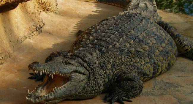 Весом до трех тонн: в Венесуэле обнаружены останки гигантского крокодила