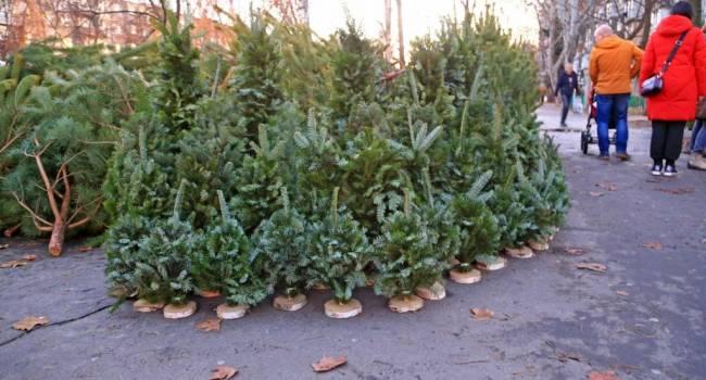 Уже около 300 гривен: эксперты рассказали о ценах на елки