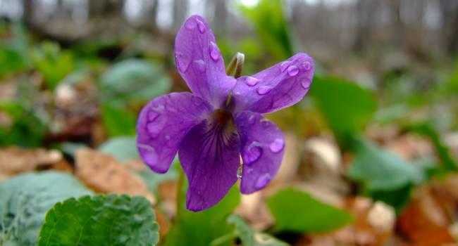 Весна пришла: в Запорожье распустилась лесная фиалка