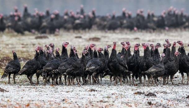 На индюшиных фермах в Польше зафиксирована вспышка птичьего гриппа