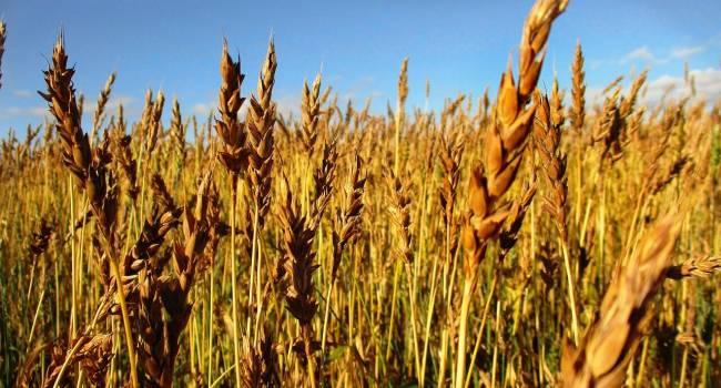 «Теплая погода не всем на пользу»: Аграрии переживают за будущий урожай озимых культур