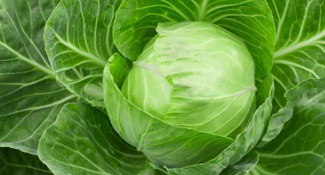 Стала известна польза белокочанной капусты