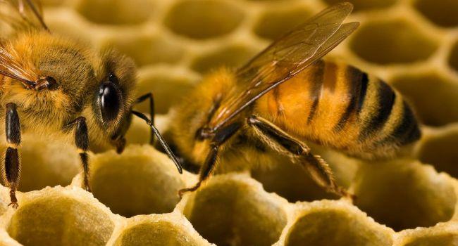 И самка, и самец: ученые нашли пчелу-гермафродита