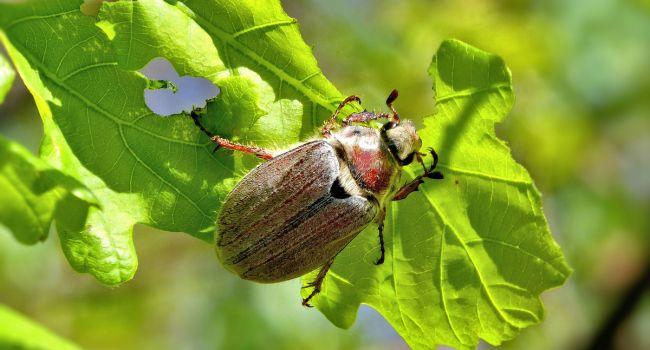 Исчезнет аллергия на пыльцу: ученые обнаружили уникальные свойства листового жука