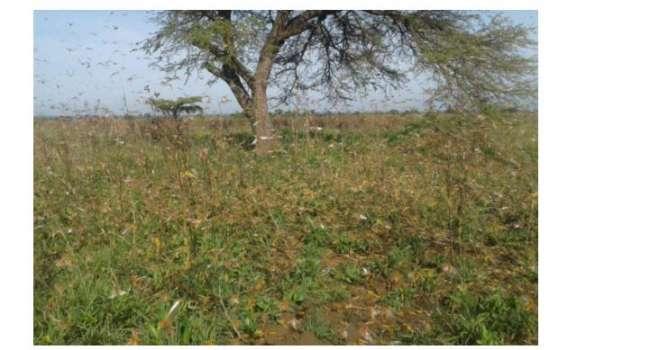 «Сотни миллионов насекомых»: в Восточной Африке началось самое масштабное нашествие саранчи – ученые пытаются это остановить