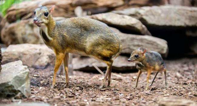 Очень похож на оленя: впервые за 30 лет в джунглях Вьетнама обнаружили уникальное животное