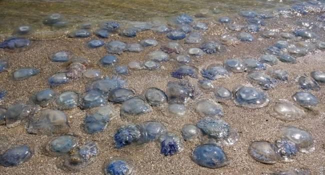 На популярных пляжах Азовского моря появились огромные медузы