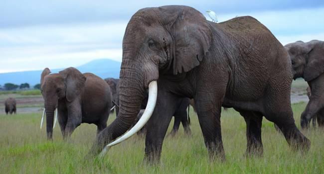 Природная катастрофа: всего за месяц в Африке загадочным образом погибли сотни слонов