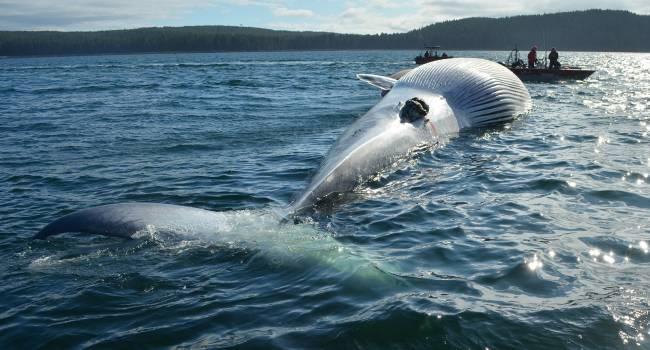 Впервые за долгое время: в Адриатическом море заметили гигантских китов