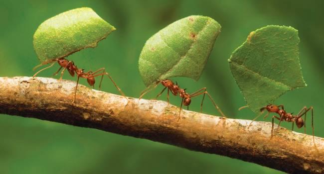 Почему муравьи такие сильные: появилось научное объяснение