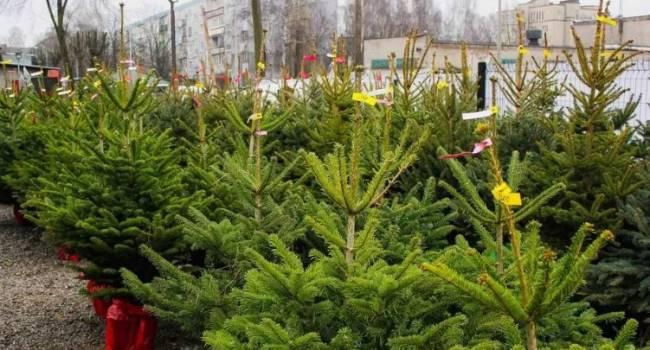 Самые дорогие будут в Ивано-Франковске: эксперты рассказали о ценах на живые елки в этом году
