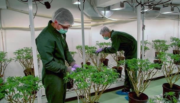 «С 1960-х годов мир изменился»: в ООН решили исключить каннабис из перечня опасных наркотиков