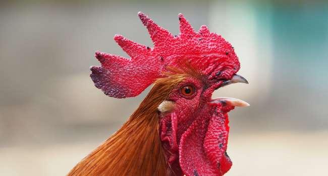 «Названа самая полезная часть курицы»: И кому нельзя употреблять куриные продукты