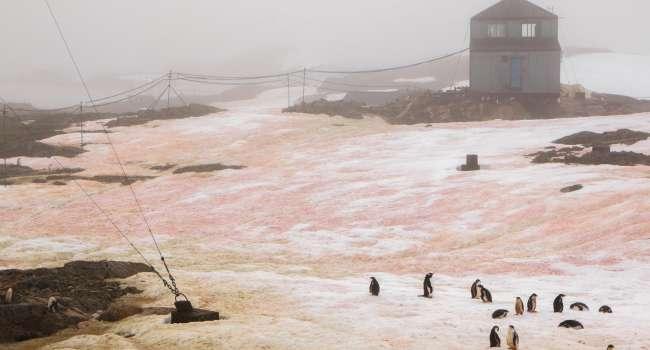 «Ярко зеленый и малиновый»: вблизи станции «Вернадский» в Антарктиде снег приобрёл неожиданные оттенки