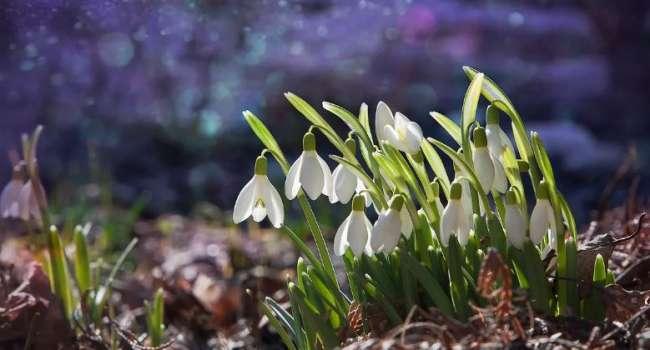 А на западе уже весна: на Закарпатье цветут подснежники и крокусы