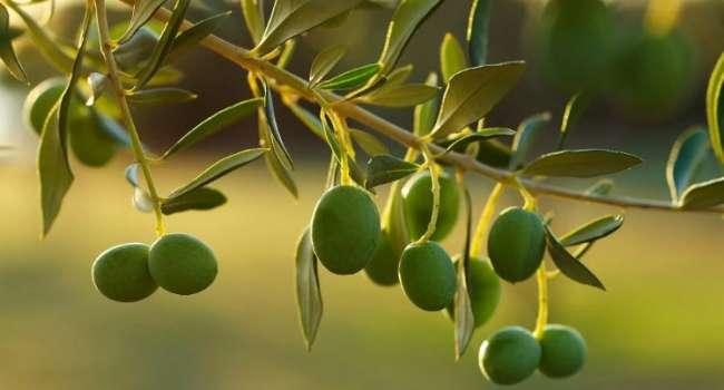 Специалисты предупредили о рекордном подорожании оливкового масла во всём мире