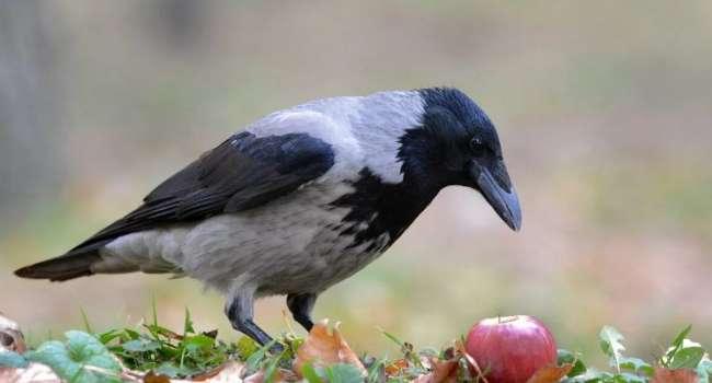 «От людей этих птиц отличают отделяют 600 млн лет эволюции»: ученые рассказали об уникальных умственных способностях ворон